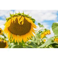 Семена подсолнечника Гусляр