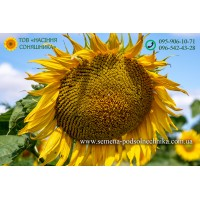 Семена подсолнечника БОНД (гранстар 50г)