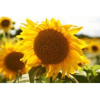Семена подсолнечника Равелин (гранстар 30г)