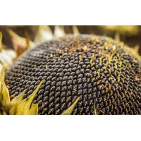 Семена подсолнечника РОНА (гранстар 50г)