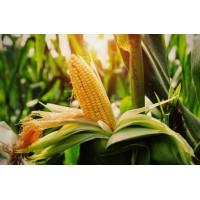 Семена кукурузы ДБ Хотин (ФАО 280)